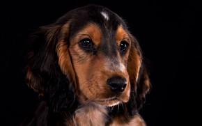 Картинка взгляд, портрет, собака, щенок, мордашка, чёрный фон, Кокер-спаниель