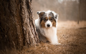 Картинка Dog, Look, Australian shepherd, Each