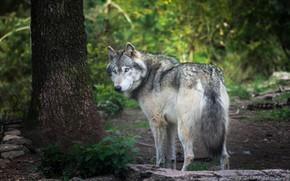 Обои лес, лето, взгляд, природа, поза, камни, серый, дерево, листва, волк, поворот, ствол