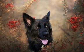 Обои друг, Немецкая овчарка, природа, собака