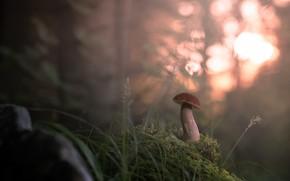 Картинка лес, туман, гриб