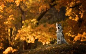 Обои собака, боке, осень, Хаски