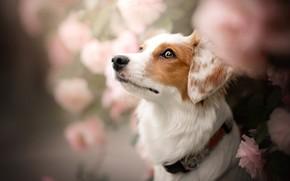 Картинка морда, цветы, роза, портрет, собака, ошейник, боке