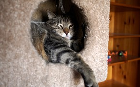 Картинка кошка, кот, взгляд, морда, уют, серый, лапа, нора, домик, полосатый, отверстие, вход, котэ, полки, толстый, …