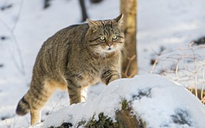 Картинка взгляд, снег, дикий кот