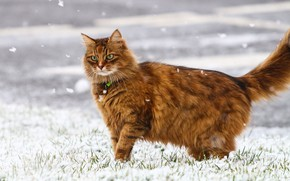 Картинка зима, кошка, снежинки, шерсть