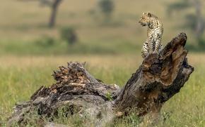 Обои дерево, леопард, профиль, коряга