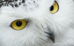 Картинка white, eyes, animal, yellow eyes, animal beauty