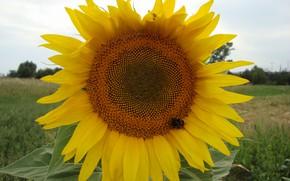 Картинка солнце, пчела, подсолнух, делтый