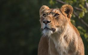 Картинка кошка, морда, природа, темный фон, портрет, лев, дикие кошки, львица