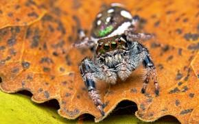 Картинка глаза, макро, фон, листок, паук, пятна, джампер, прыгунчик