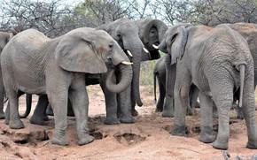 Картинка группа, африка, слоны