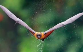 Картинка вода, капли, брызги, крылья, лиса, летучая лисица