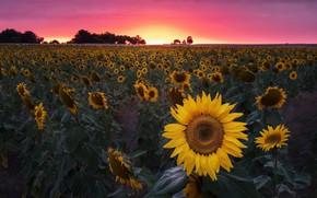 Картинка поле, закат, подсолнух