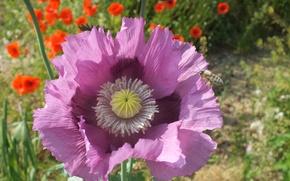 Картинка цветы, пчела, мак, лепестки, насекомое