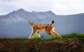 Картинка взгляд, хищник, рысь, Walking Lynx
