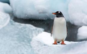 Картинка лед, снег, птица, остров, пингвин, Антарктида, Кувервиль