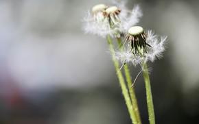 Картинка цветы, природа, одуванчики
