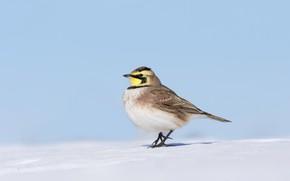 Картинка снег, птица, клюв, рогатый жаворонок