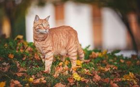 Картинка осень, кошка, взгляд, листья, рыжая кошка