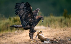Обои птица, заяц, добыча, The Eagle and the Rabbit