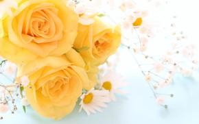 Картинка цветы, ромашка, Розы