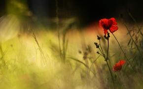 Картинка цветок, лето, трава, лучи, свет, цветы, темный фон, мак, рожь, маки, лепестки, размытость, красные, дуэт, …