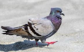 Картинка птица, голубь, шагает