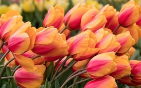 Обои наклон, тюльпаны, бутоны, лепестки, много, макро