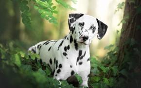 Обои собака, взгляд, Далматин, трава