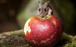 Картинка природа, яблоко, мышка