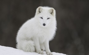 Картинка Природа, Зима, Белый, Снег, Лисенок