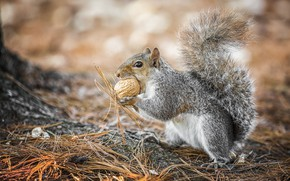 Обои грецкий орех, орех, белка, хвоя