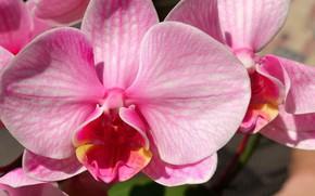 Картинка цветок, розовый, Орхидея
