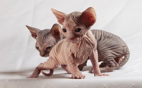 Обои кошки, котенок, глазки, кожа, котята, котёнок, парочка, светлый фон, два, складки, мордашки, сфинкс, сфинксы, лысенькие, ...