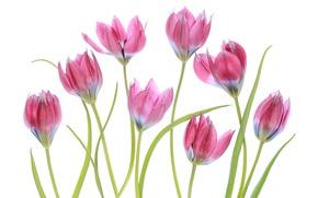 Картинка макро, розовый, тюльпаны
