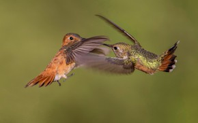 Картинка птица, крылья, клюв, пара, охристый колибри