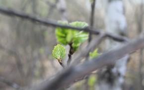 Картинка ветки, природа, лист, зеленый, green, весна, маленький, nature, spring, leaf, сквозь ветки