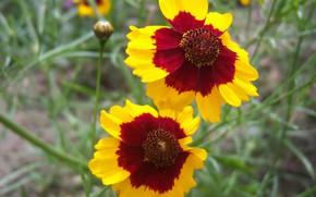 Картинка цветы, пара, два цветка, Meduzanol ©, жёлто-коричневые