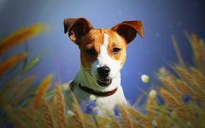 Картинка собака, джек рассел терьер, колосья, фон, друг