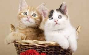 Картинка корзина, котята, дуэт