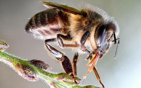 Картинка глаза, макро, крупный план, пчела, фон, пыльца, насекомое, детали, стебелек, тельце, опылитель