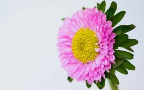 Картинка цветок, природа, лепестки, астра