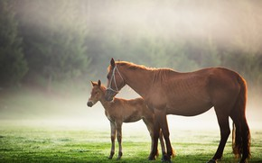 Картинка зелень, поле, лес, трава, солнце, деревья, туман, утро, лошади