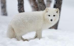 Картинка зима, животные, белый, морда, снег, деревья, природа, фон, снегопад, песец