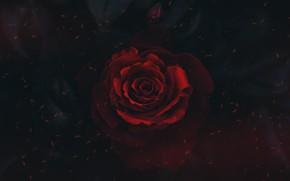 Картинка red, black, flower, rosa