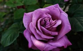 Картинка макро, роза, лиловый