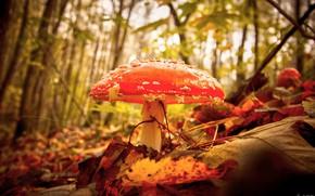 Картинка осень, лес, макро, гриб, мухомор