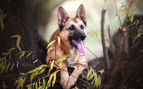 Обои собака, ветки, морда, Бельгийская овчарка малинуа, язык