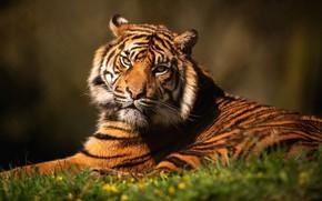 Обои трава, кошки, тигр, дикие кошки, морда, фон, лежит, дикая природа, взгляд, портрет